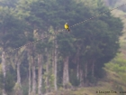 Trauertyrann / Tropical Kingbird, Savegre Lodge