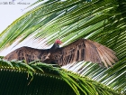 Truthahngeier / Turkey Vulture, La Leona Lodge