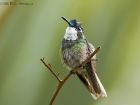 Grauschwanznymphe / White-throated Mountain Gem, Savegre Lodge