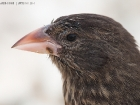 Opuntiengrundfink / Large Cactus Finch