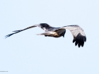 Western Marsh Harrier / Rohrweihe