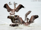 Braunpelikane / Brown Pelicans