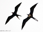 Prachtfregattvogel / Magnificent Frigatebird