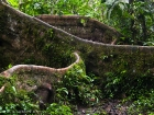 Brettwurzel / Buttressed root