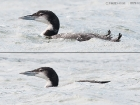 Eistaucher / Great Northern Diver