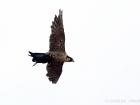 Wanderfalke mit Taube