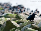 Rabenkrähe / Carrion Crow