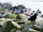 Rabenkrähe / Carrion Crow