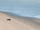 Seehund / Common Seal