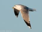 Sturmmöwe / Common Gull