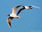 Lachmöwe / Common Black-headed Gull