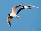 Lachmöwe / Common Black-headed Gull