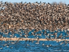 Pfuhlschnepfen / Bar-tailed Godwits