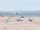 Seeschwalben / Terns