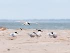 Seeschwalben / Terns