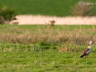 Nilgans / Egyptian Goose