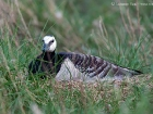 Nonnengans / Barnacle Goose