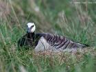Nonnengans / Barnacle Goose