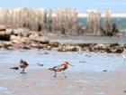 Pfuhlschnepfe / Bar-tailed Godwit