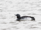 Sterntaucher / Red-throated Diver