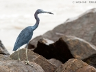 Blaureiher / Little Blue Heron