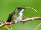 Gmelinamazilie / Plain-bellied Emerald