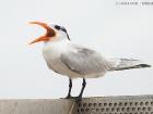 Königsseeschwalbe / Royal Tern