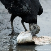 Rabengeier / Black Vulture