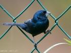 Jacariniammer / Blue-black grassquit