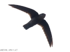 Dornensegler / Band-rumped swift