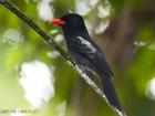 Mohrentrappist / Black Nunbird