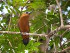Kapuzinervogel / Capuchinbird