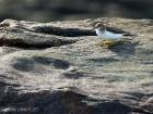 Drosseluferläufer / Spotted Sandpiper