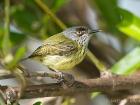 Tropfenbrust-Spateltyrann / Spotted tody flycatcher