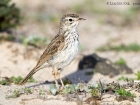 Kanarenpieper / Berthelot's Pipit