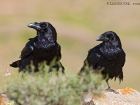 Kolkrabe / Common Raven