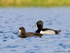 Kleine Bergente &amp; Ringschnabelente / Lesser Scaup &amp; Ring-necked Duck