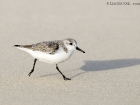 Sanderling