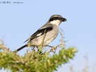 Sdlicher Raubwrger / Southern Grey Shrike