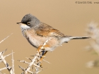 Brillengrasmcke / Spectacled Warbler