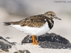 Steinwlzer / Ruddy Turnstone