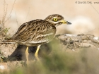Triel / Eurasian Stone Curlew