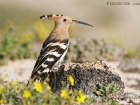 Wiedehopf / Hoopoe