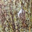 Gartenbaumläufer / Short-toed Treecreeper