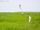Austernfischer und Sturmmöwe / Oystercatcher and Common Gull