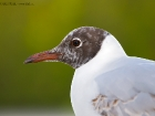 Lachmwe / Black-headed Gull