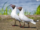 Lachmöwen / Black-headed Gulls