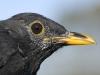 Amsel in Kopfmauser/Blackbird moulting head