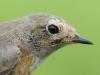 Gartenrotschwanz/Common Redstart
