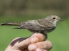 Grauschnäpper/Spotted Flycatcher